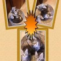 Котята Мейн-кун (прививки, документы в наличии), в г.Минск