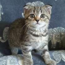 Котята породы Scottish fold и Scottish straight, в г.Даугавпилс