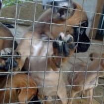 Продаю: щенки боксера, в Краснодаре