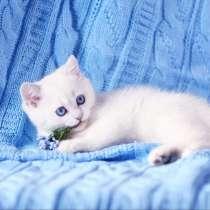 British Shorthair Femele ns 1133.Sapphire eyes, в г.Майами