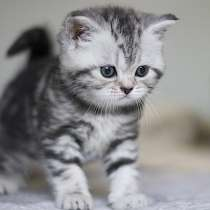 Шотландские котята мраморного окраса, в Москве
