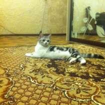 Шотландский прямоухий котенки (скоттиш-страйт), в Екатеринбурге