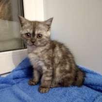 Шотландский котенок кошечка, в Новосибирске