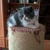 Экзотический короткошерстный кот, в г.Витебск