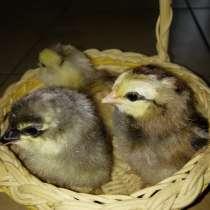Цыплята Амераукана в Балашихе, в Железнодорожном
