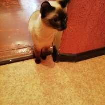 Кошечка сиамская. Даром, в Оренбурге