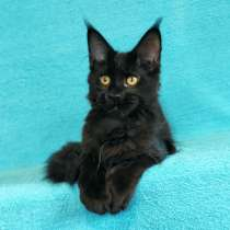 Кошечка мейн-кун из питомнника, в Казани