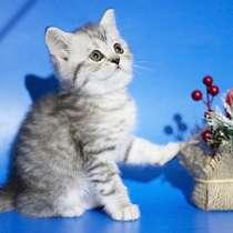 Короткошерстные и длинношерстные шотландские котята, в Москве