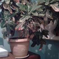 Продам комнатный цветок кротон для офиса, в Чите