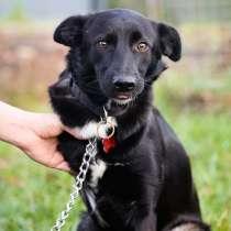 Красивая собака с тремя лапками ищет дом, в Санкт-Петербурге