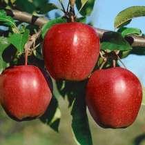 Яблоки оптом в ассортименте, в Краснодаре