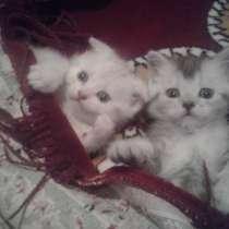 Шотландские котята, в г.Прилуки