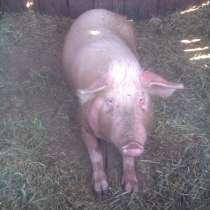 Продажа свиней, в Сальске