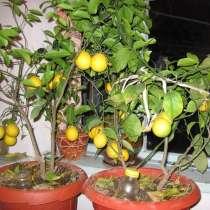 Саженцы цитрусовых и экзотических растений, в Краснодаре