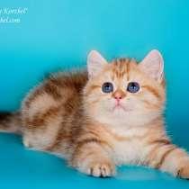Котенок британский-золотой мраморный, в Ханты-Мансийске