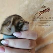 Bengal kittens, в Мурманске
