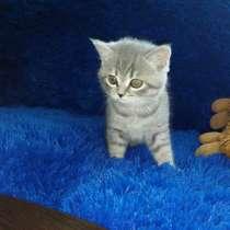 Британские котята 0507488324, в г.Энергодар