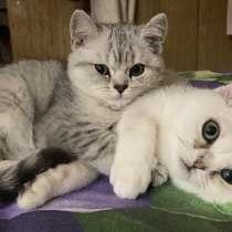 Шотландские котята, в г.Мозырь