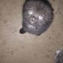 Кошка вислоухая, в г.Могилёв