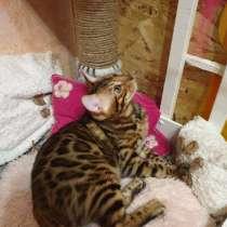 Бенгальский котенок, в г.Кривой Рог