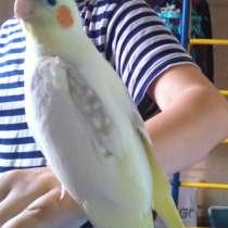 Птенец попугая кореллы -для обучения разговору, в Москве
