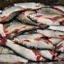 Рыба оптом и в розницу, в Омске