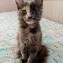 Котята мейн-куны, в Бору