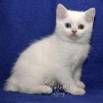 Шотландские котята из питомника. Доставка!, в г.Бишкек