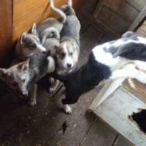 Щенки 4 мес. Западно-Сибирской лайки, в Зеленогорске