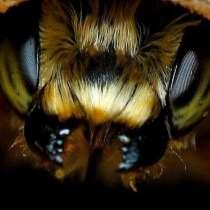 Пчелопакеты Карпатка, Карника. Привоз пчелопакетов на 2020, в Омске