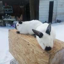 Продам кроликов калифорния 350 руб/месяц жизни, в Москве