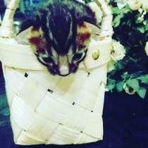 Продам котят бенгалов, в Челябинске