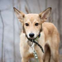 Милый щенок-ушастик, в Санкт-Петербурге