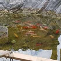 Рыбки прудовые, в Москве