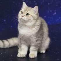 Британские котята эксклюзивных окрасов, в Челябинске