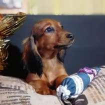 Такса миниатюрная кроличья длинношерстная, в г.КИВИЫЛИ