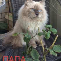 Котята породы Невская маскарадная, в Новочеркасске