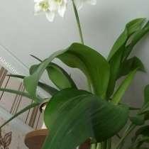 цветок эухарис, в г.Кокшетау