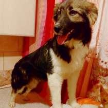 Метис шелти, красивая ласковая собачка, в Санкт-Петербурге