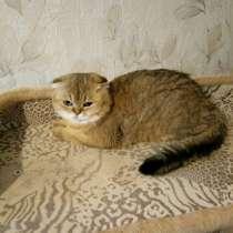 Шотландский клубный молодой кот, в Москве