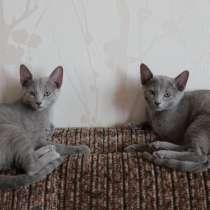 Продам котят русской голубой кошки, в Санкт-Петербурге