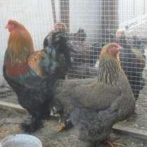 Брама куропатчатая, цыплята суточные, цыплята от 2 мес, в Гулькевичах