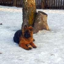 Немецкая овчарка длинношерстная, в Красноярске