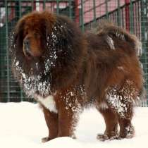 Тибетский мастиф щенки, в г.Уральск