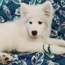 Samoyed dog, в г.New York Mills