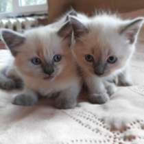 Продам тайских котят, в г.Пинск