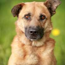 Мухтар – ласковый и благородный рыжий пес! В семью!, в Москве