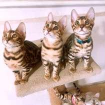 Бенгальские котята, в Симферополе