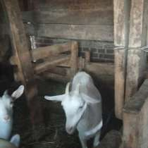 Продам молочных коз, в г.Уральск