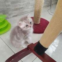 Британские котята, в г.Ашдод